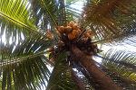 My Coconut Palm